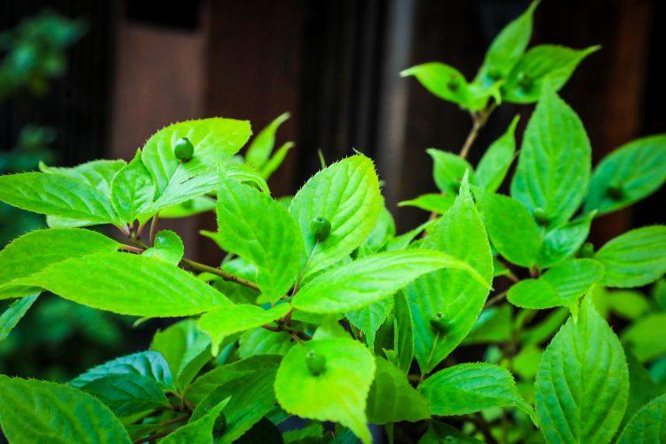 中山道木曽路奈良井宿の町並みで見つけた植物