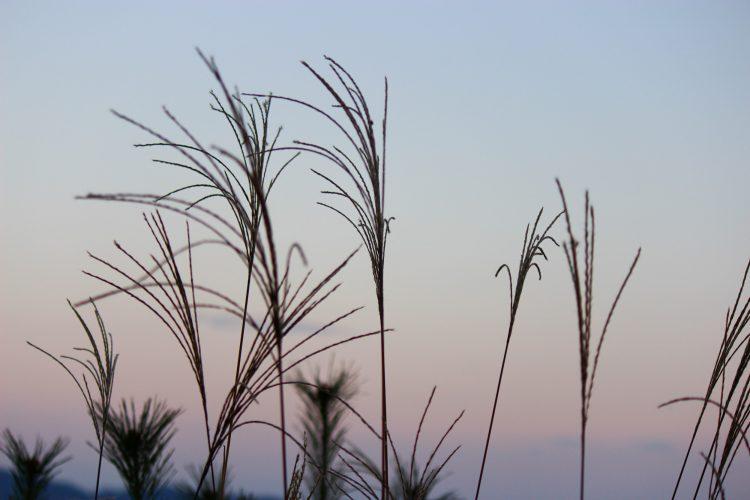 兵庫県朝来市の竹田城の見える場所のすすき