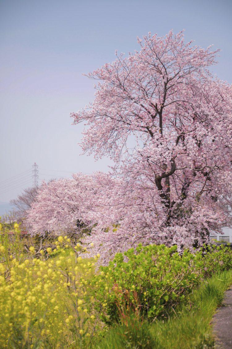 岐阜県瑞穂市の桜01