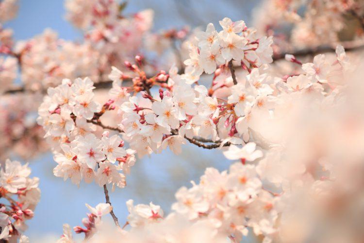 岐阜県瑞穂市の桜02