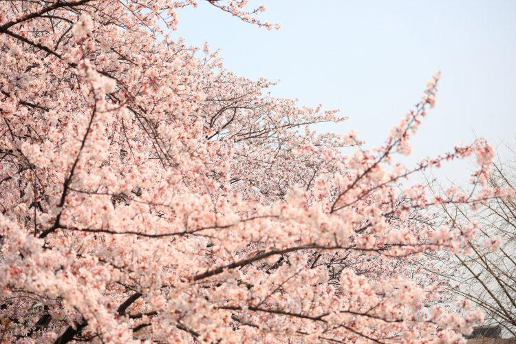 岐阜県瑞穂市の桜04