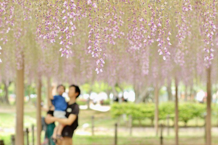 天王川公園の藤棚04