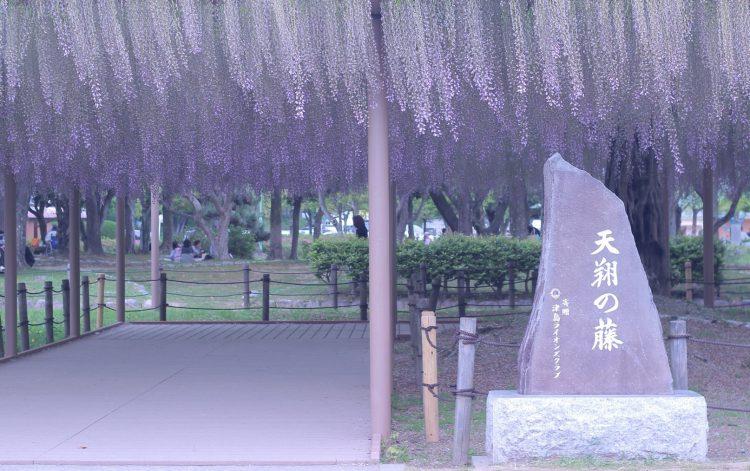 天王川公園の藤棚01