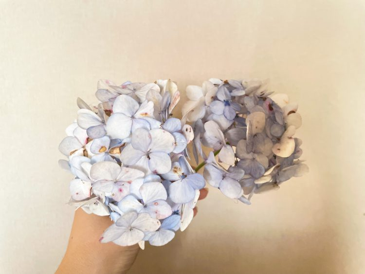 収穫した枯れかけの紫陽花-3